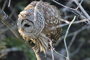 Barred Owl in the Everglades