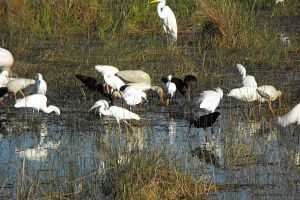 Birds At The Watering Hole in the Everglades