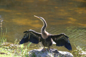Anhinga showing off for a tram tour