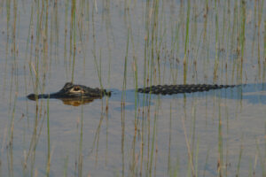 Gator enjoying a swim - spotted during our Shark Valley Tram Tours