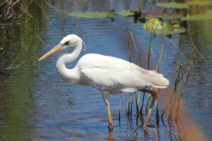 Great White Heron standing in the Everglades River