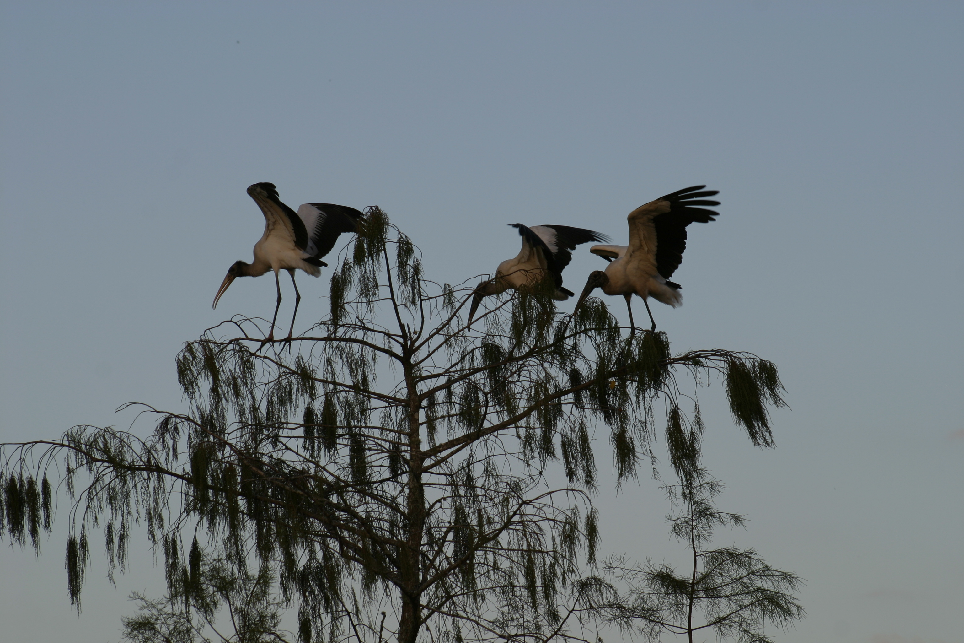 3 Woodstorks at the top of a tree