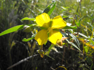 Primrose Willow blooming a vibrant yellow flower