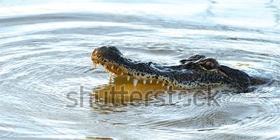 gator stock image