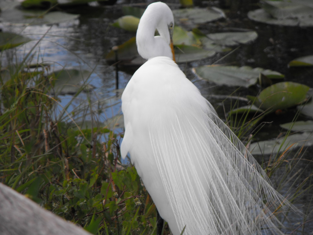 White Egret spotted on our Everglades Tour