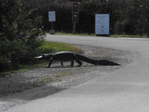 Alligator crossing a road in front of a Shark Valley Tram tour