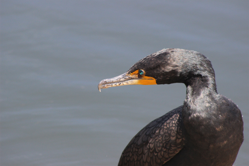 Double Crested Cormorant in the Everglades