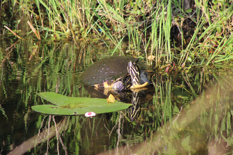 Red-bellied Turtle sunbathing