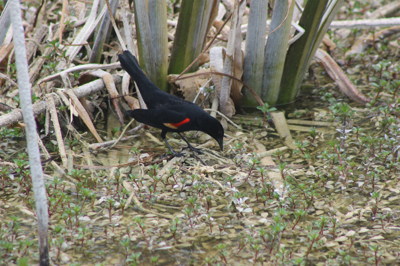Red-Winged Blackbird looking for food in shallow water