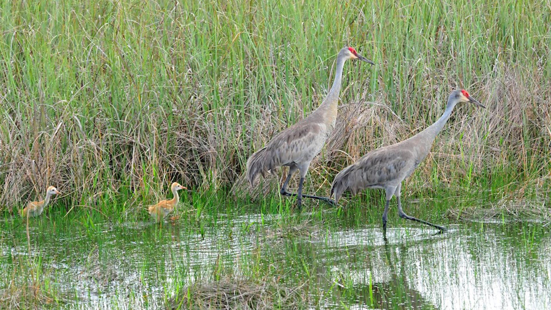 Sand Hill Cranes with their chicks