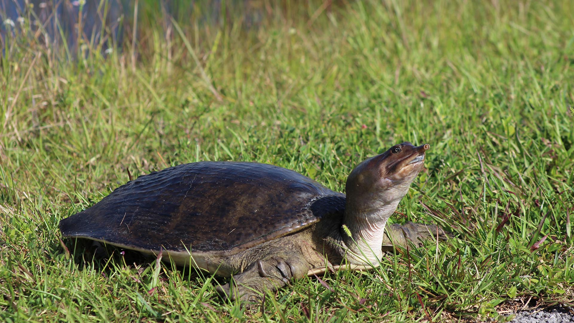 Softshell Turtle along the Shark Valley Tram Tour Path